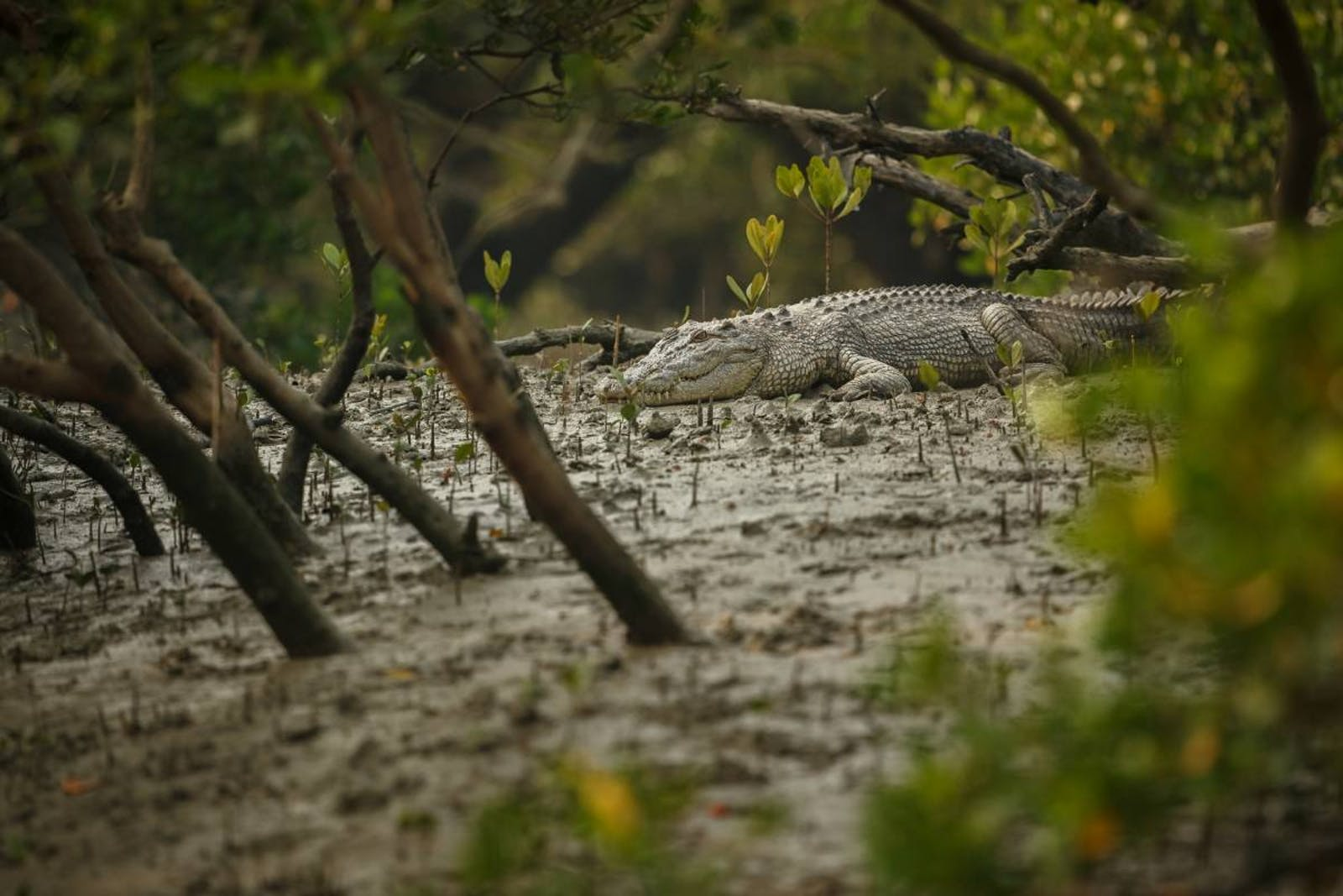 Sundarbans Mangroves