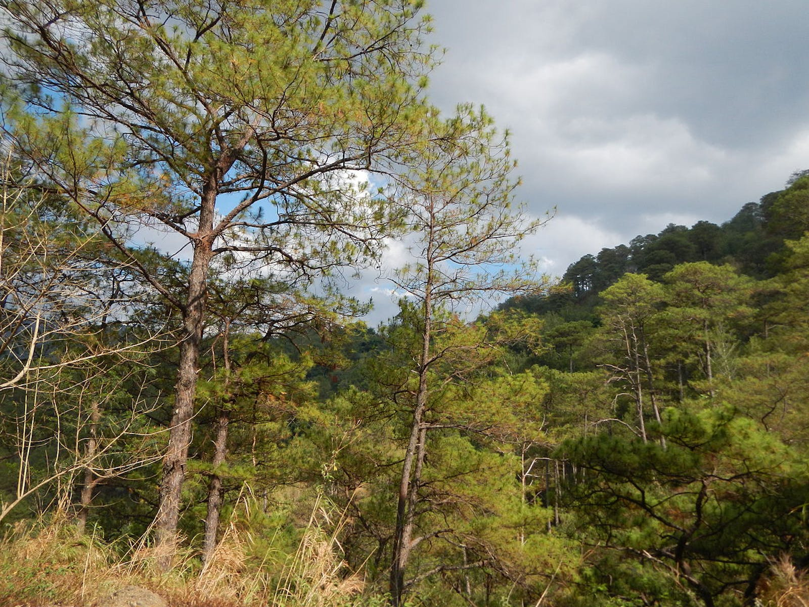 Luzon Tropical Pine Forests