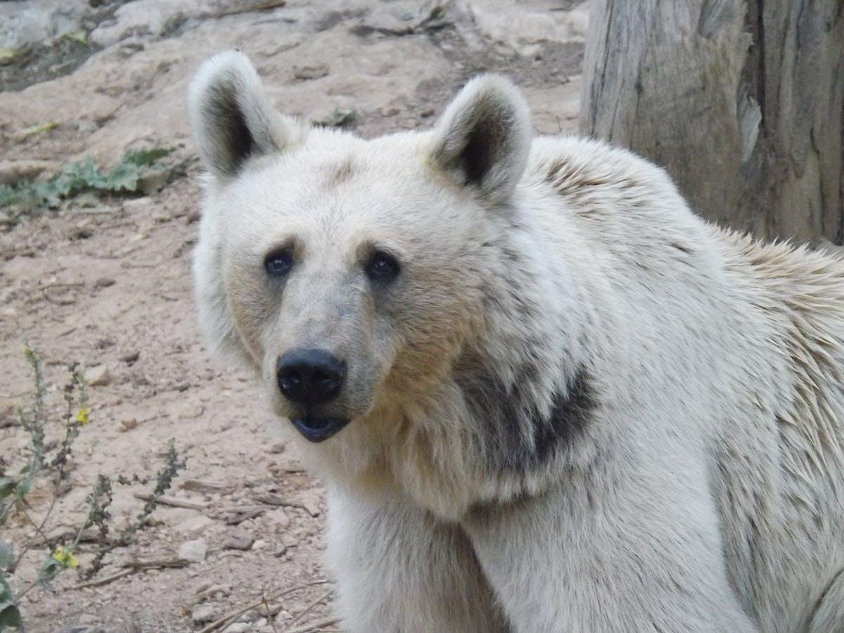 Species of the Week: Syrian brown bear