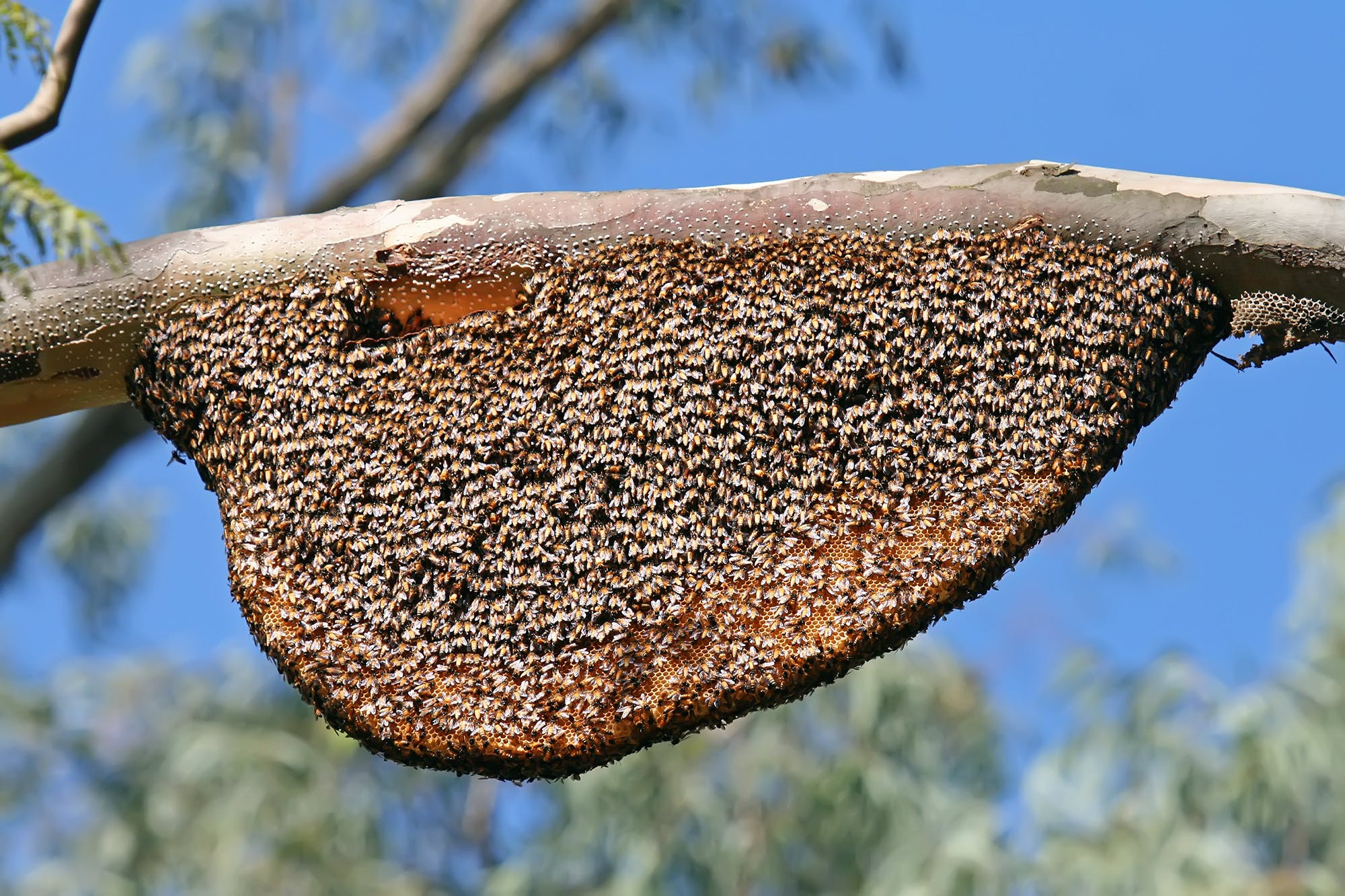 A colony of Apis dorsata or the rock bee, a native honey bee found in India. Bees are important pollinators that ensure food security and sustaining biodiversity.