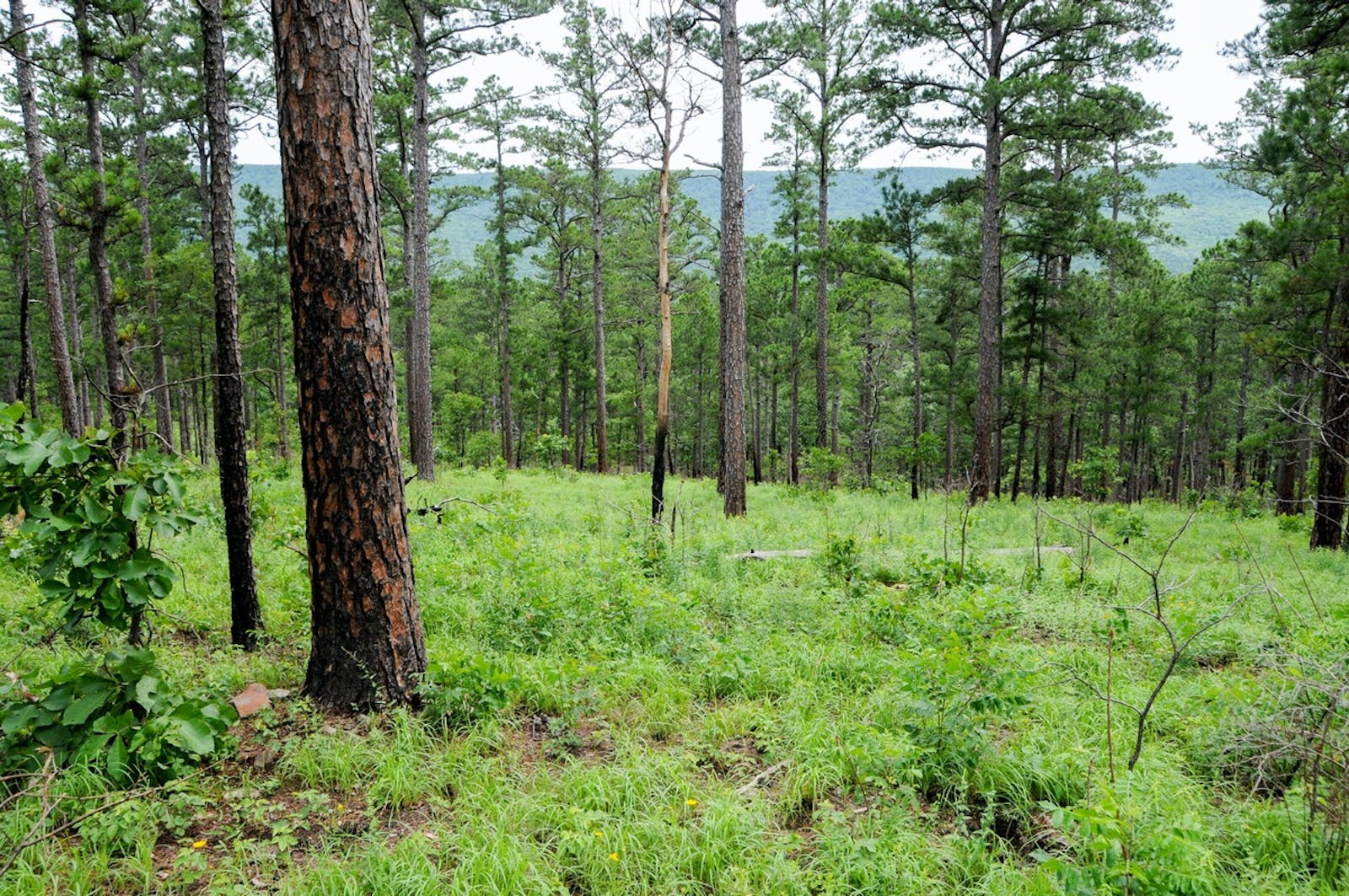 Ozark Mountain Forests