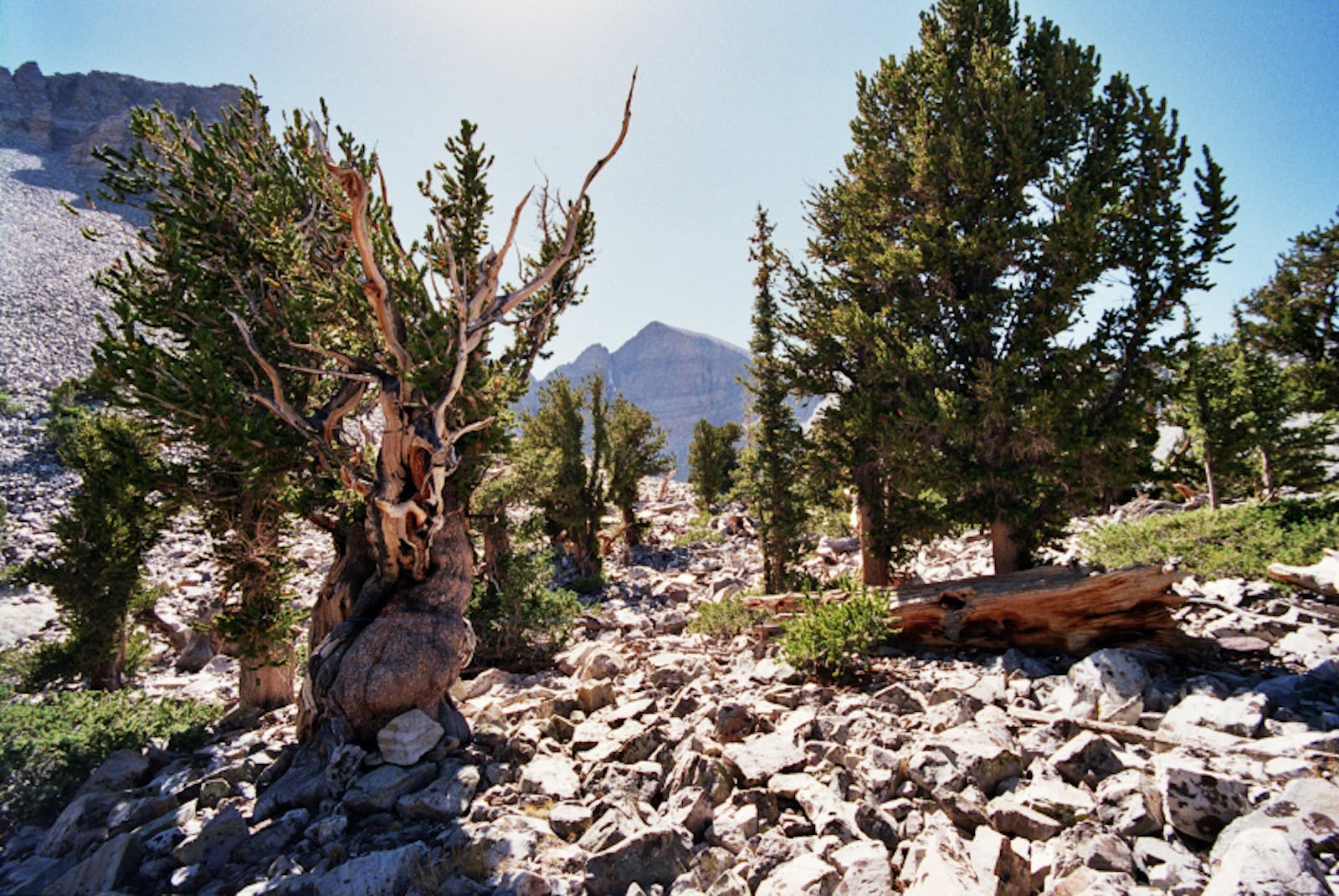 Great Basin Montane Forests