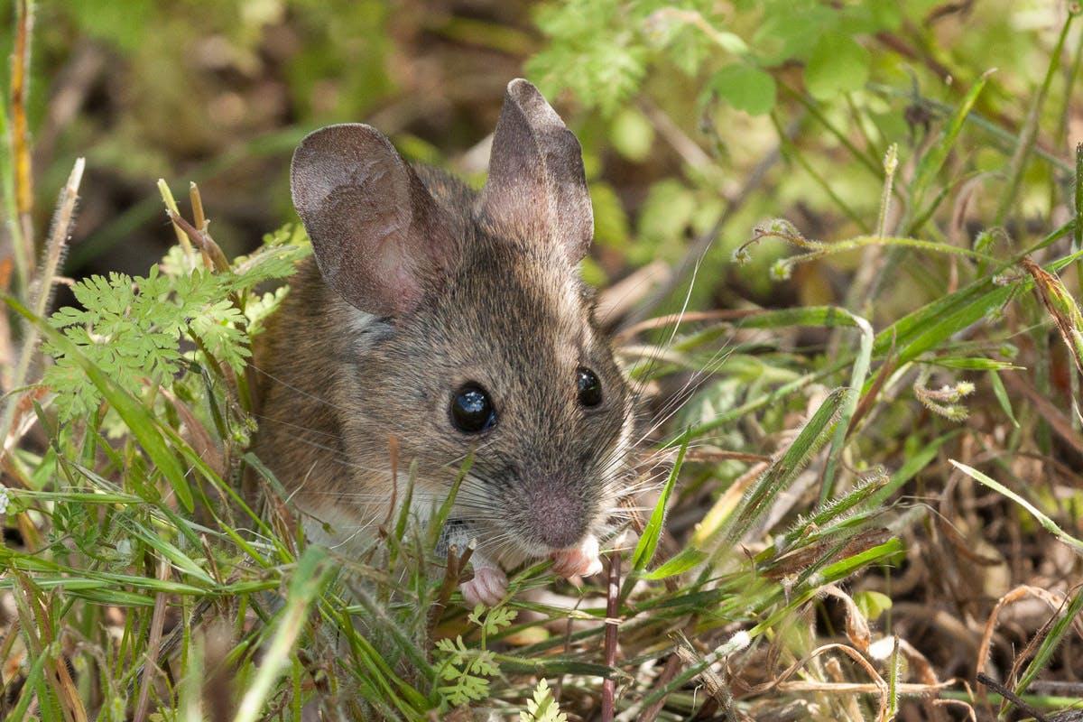 Species of the Week: Darwin's leaf-eared mouse