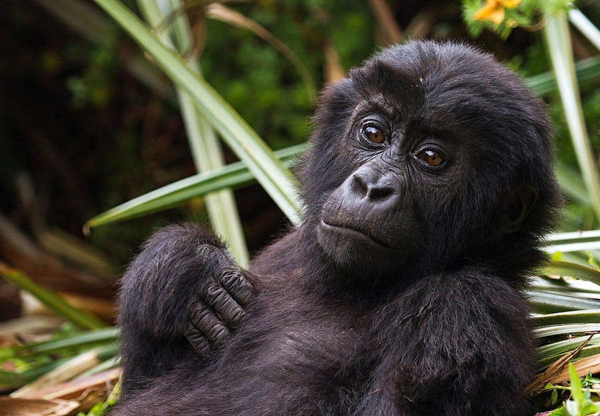 Voices from the Field, Community-Based Conservation of Grauer's Gorillas