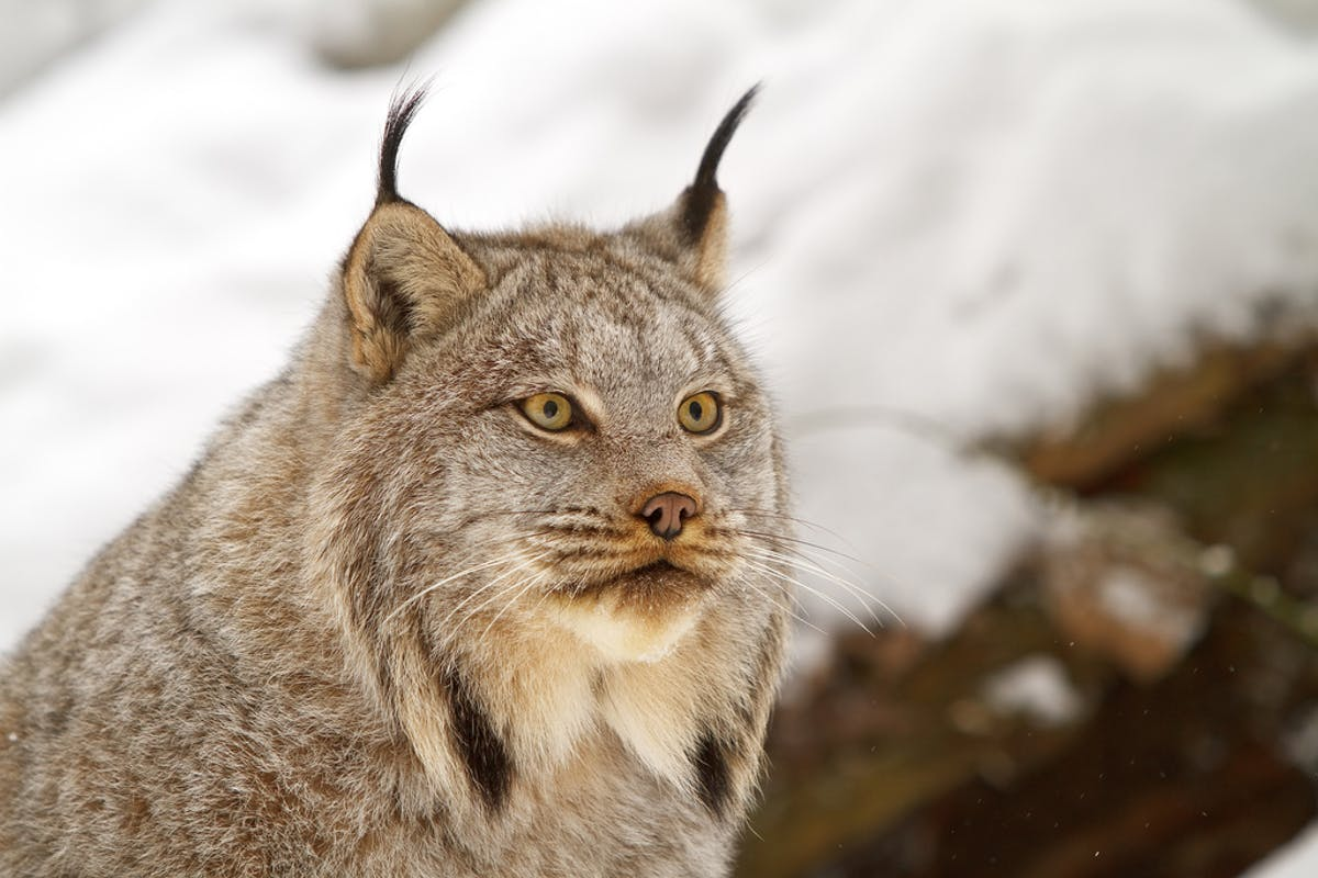 Revitalizing Lynx Management for the Western United State's New Wildfire Reality