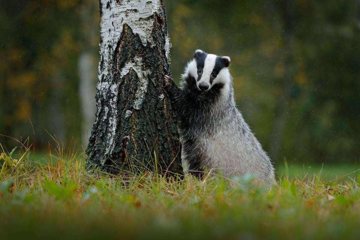 Species of the Week: Eurasian badger