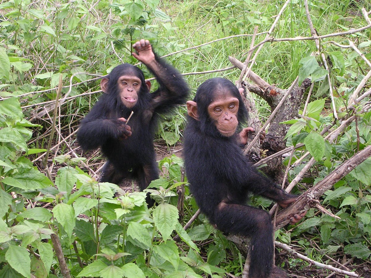 Saving the Endangered Western Chimpanzee Population of Bossou in West Africa