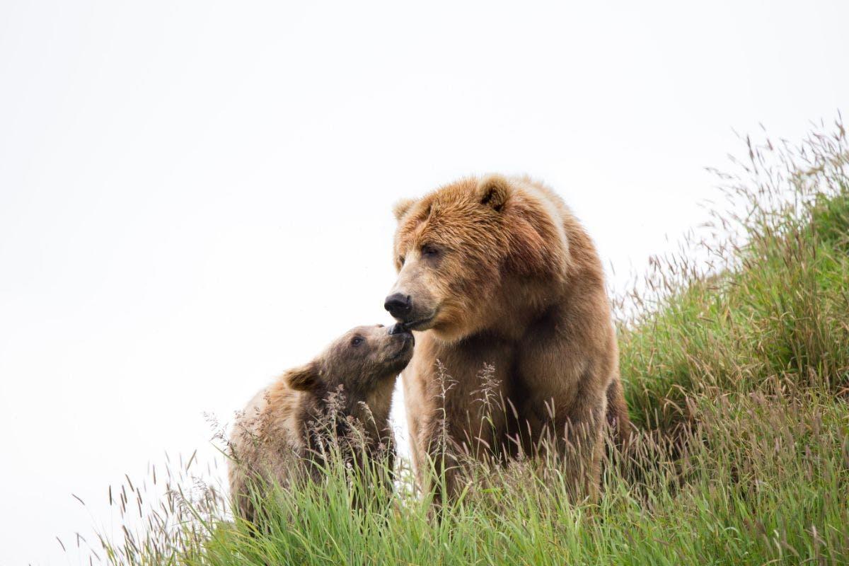 Bear and Cub in Kodiak National Wildlife Refuge. Creative Commons, Lisa Hupp, USFWS, 2016.