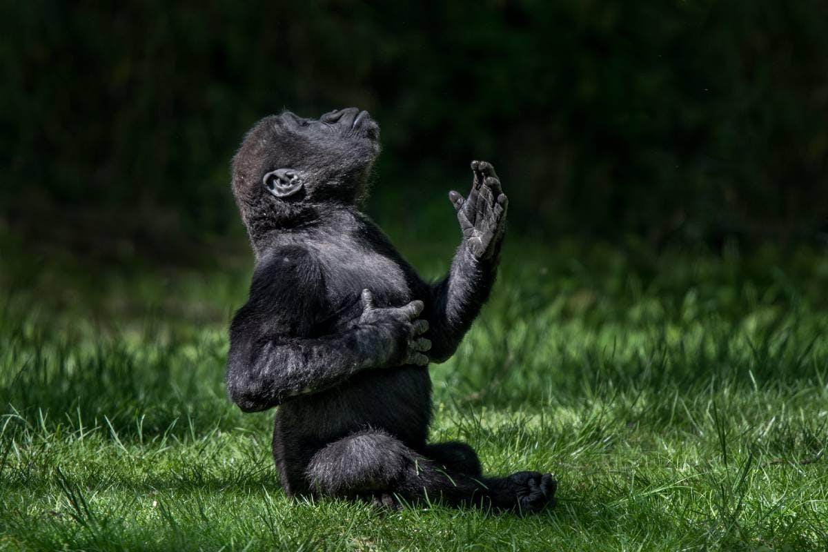 Species of the Week: western lowland gorilla