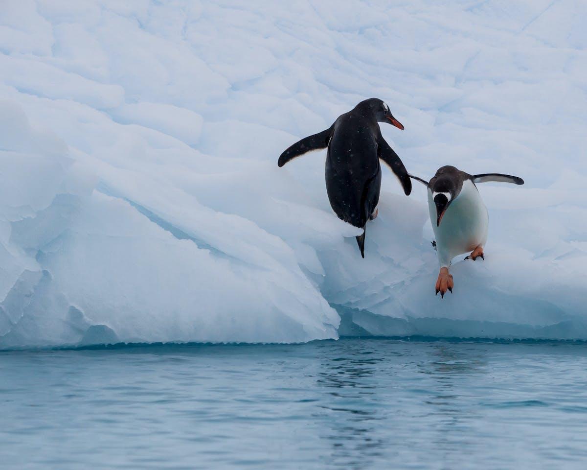 Species of the Week: gentoo penguin