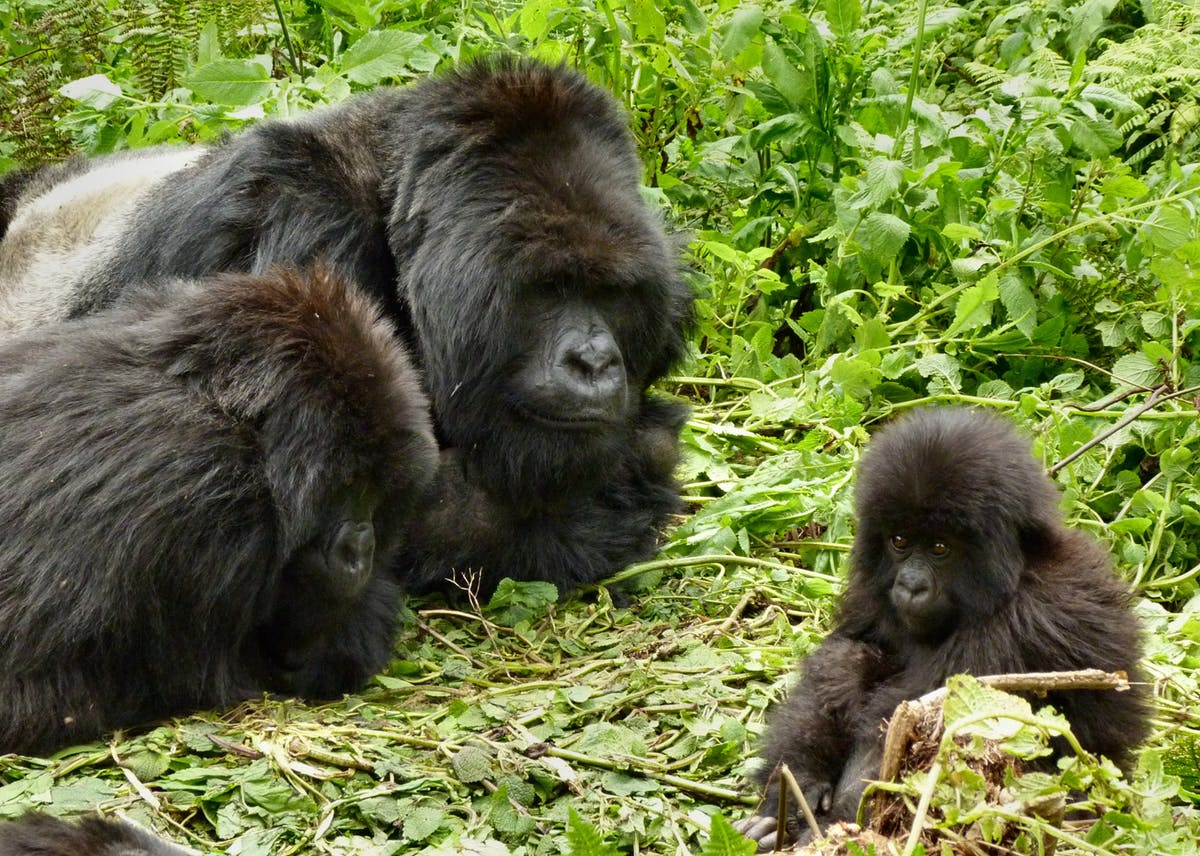 Wild gorillas sing happy songs while they eat