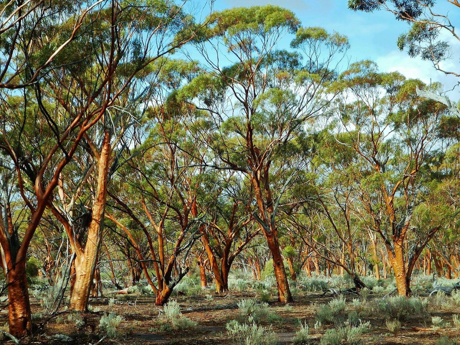 Coolgardie Woodlands