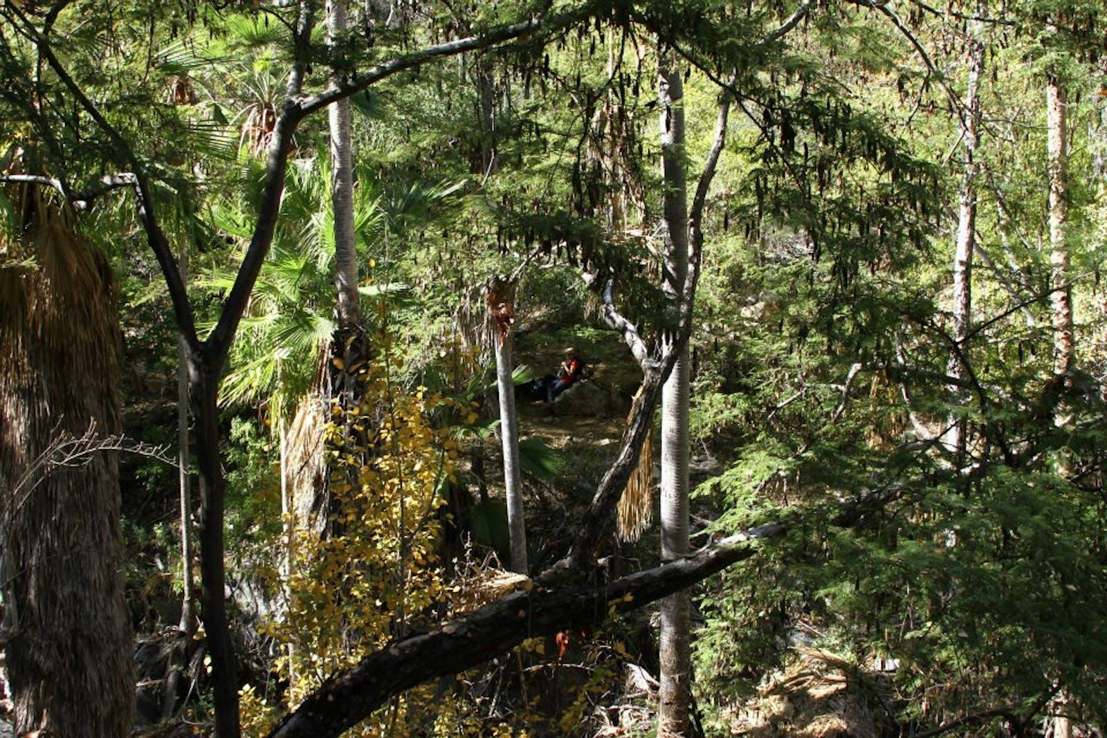 Sierra de la Laguna Pine-Oak Forests