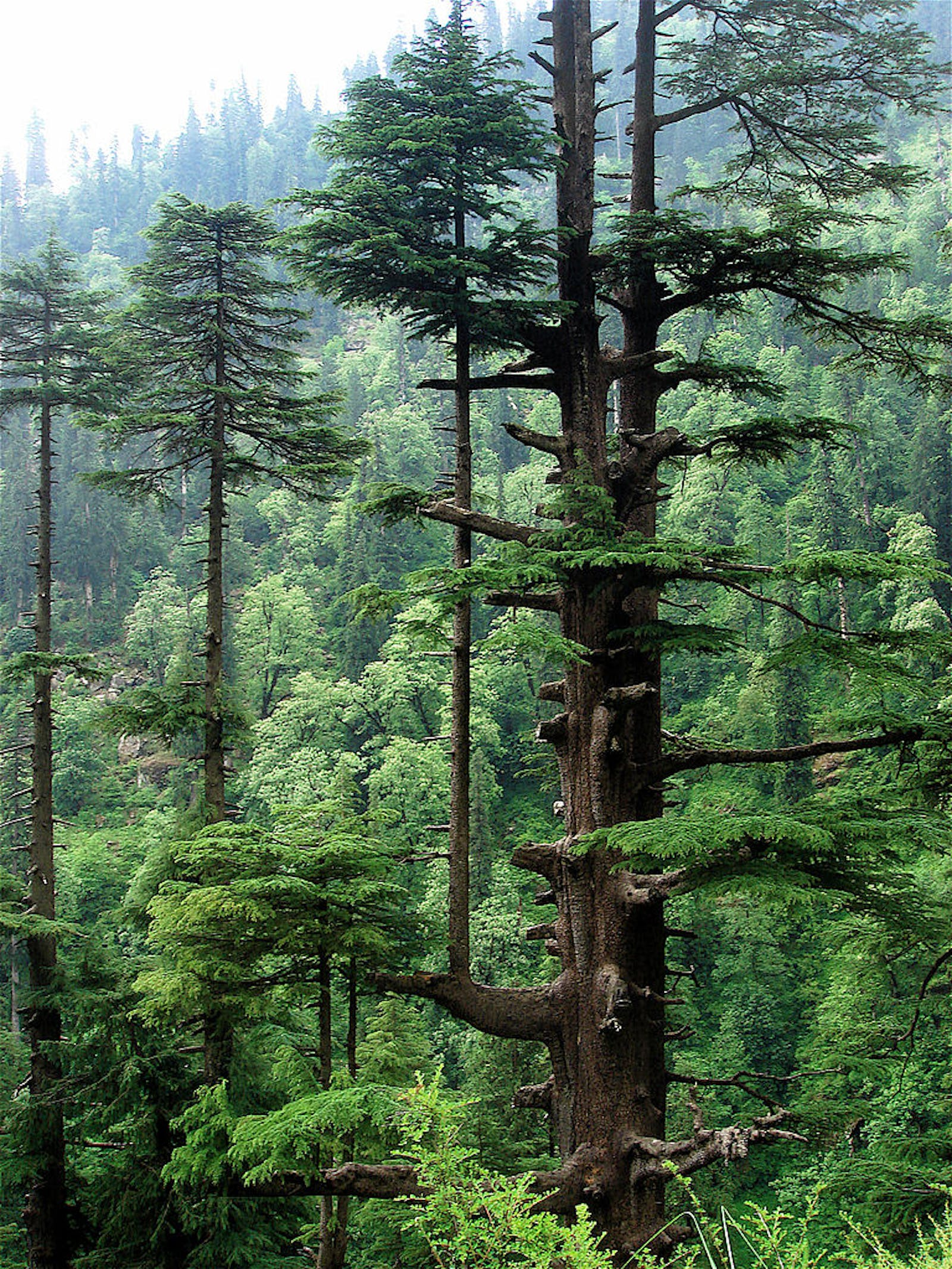 Western Himalayan Subalpine Conifer Forests