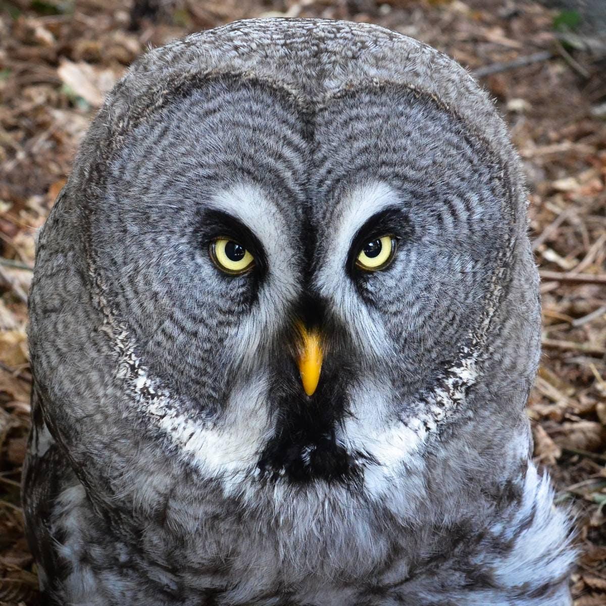 Species of the Week: great grey owl