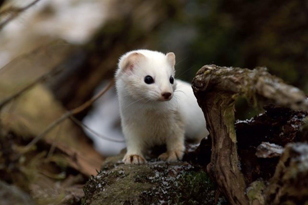 Species of the Week: Haida ermine