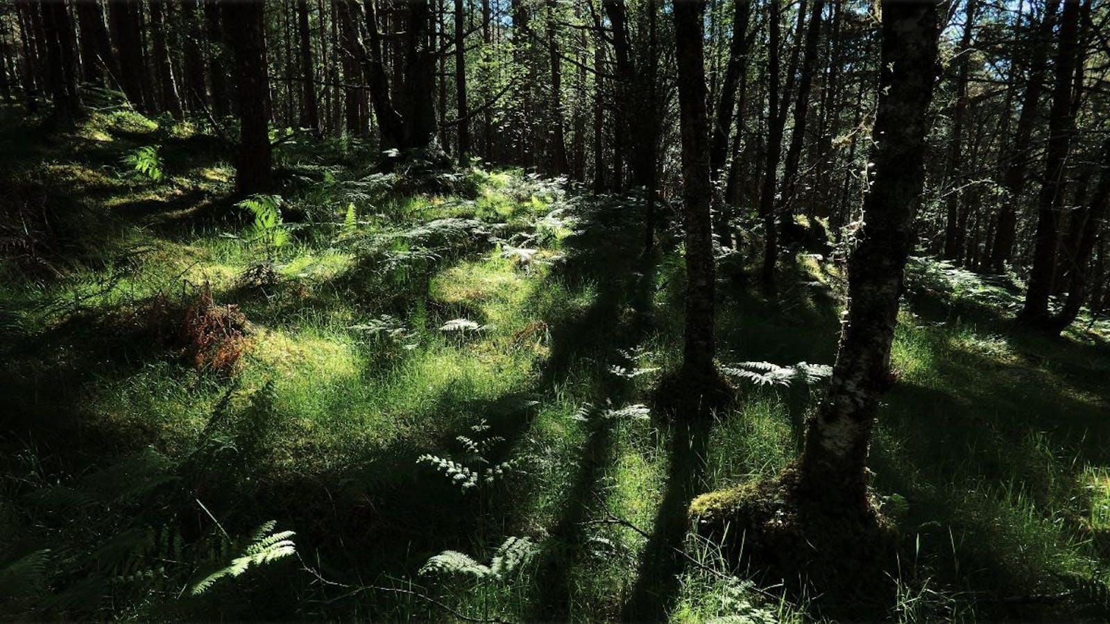 Caledon Conifer Forests