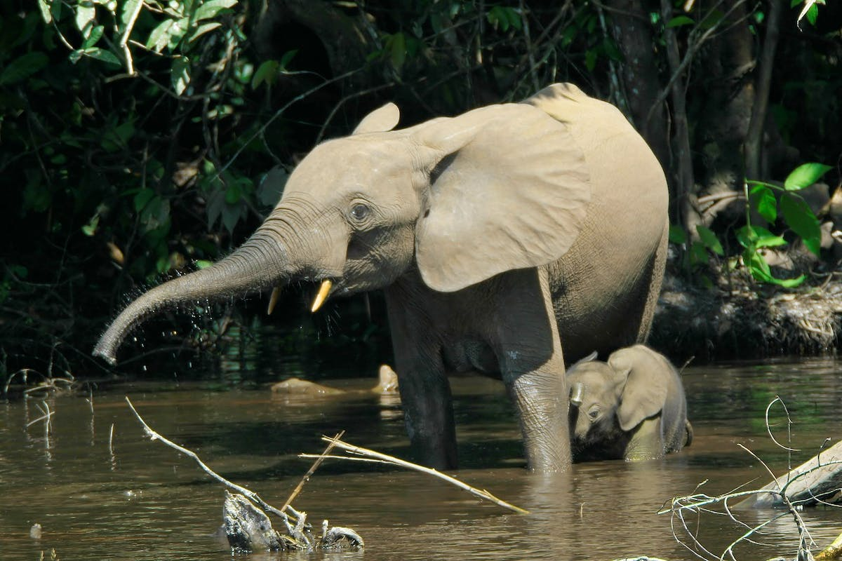 Gardeners of the Congo: how African elephants fight climate change