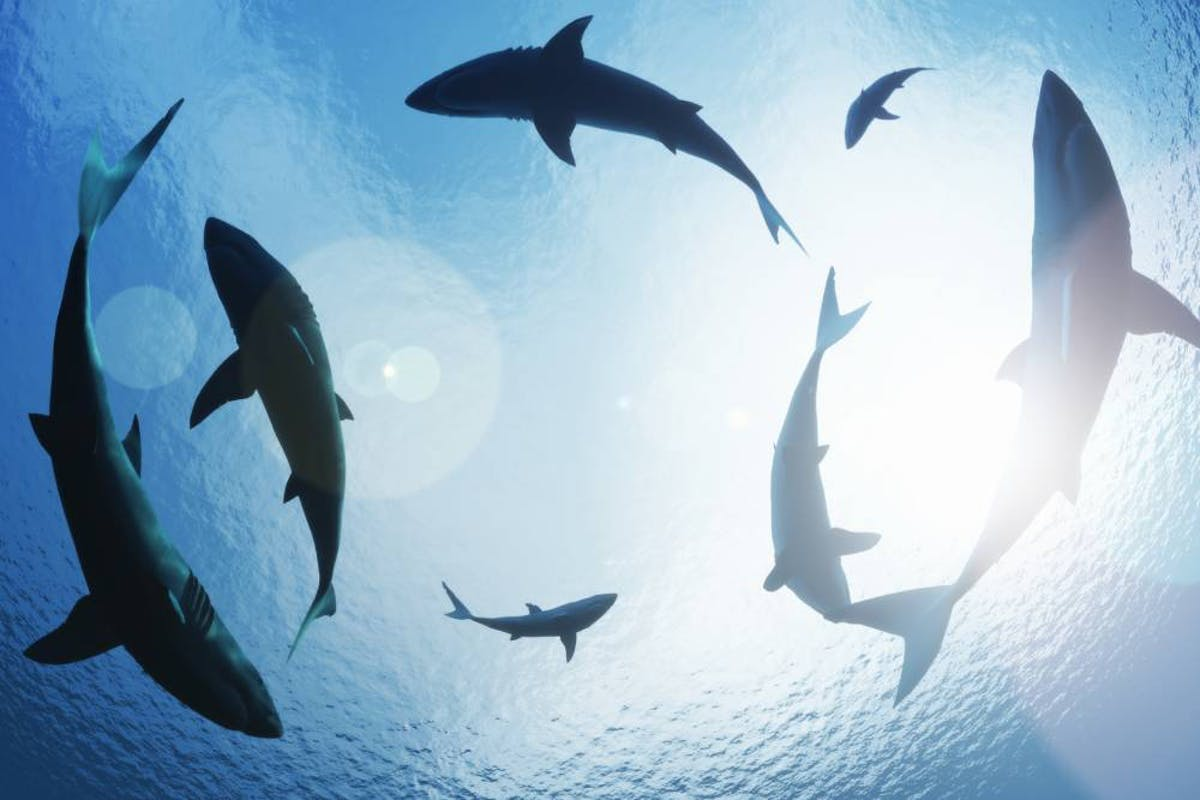 Why sharks are essential for healthy oceans