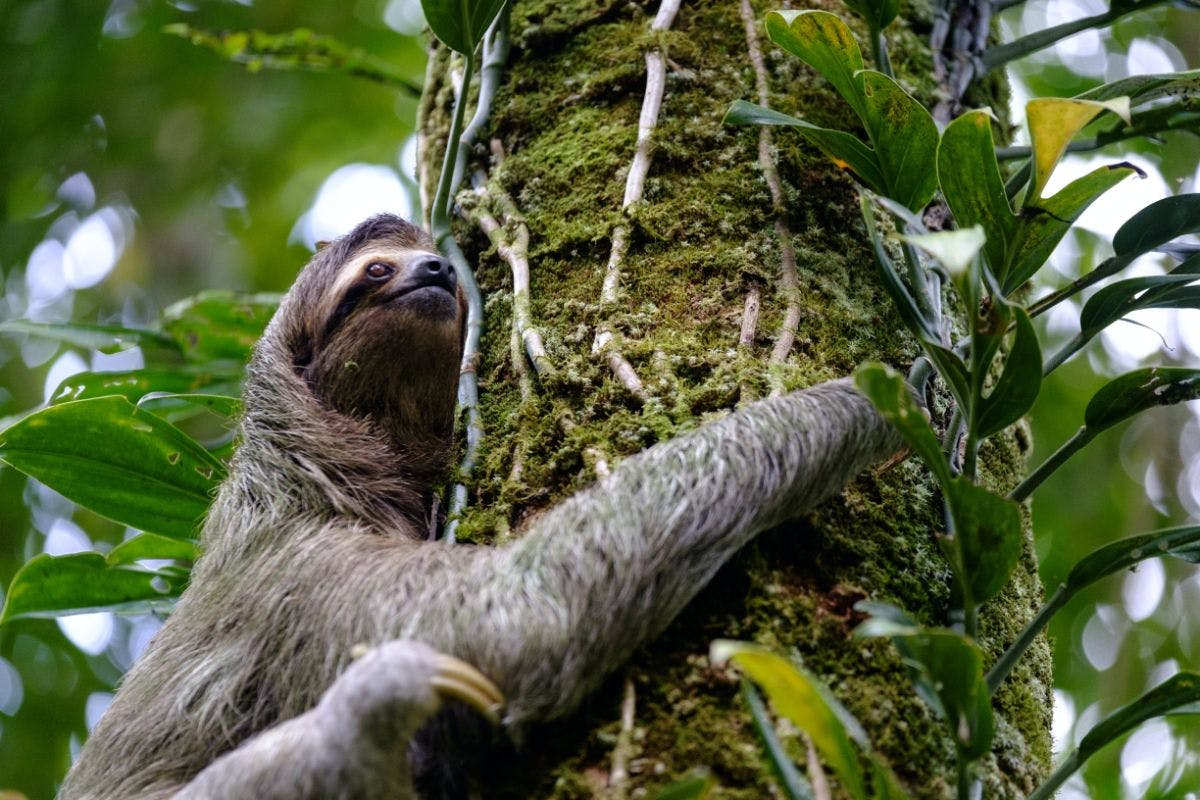 The slow-motion and high-canopy life of the sloth
