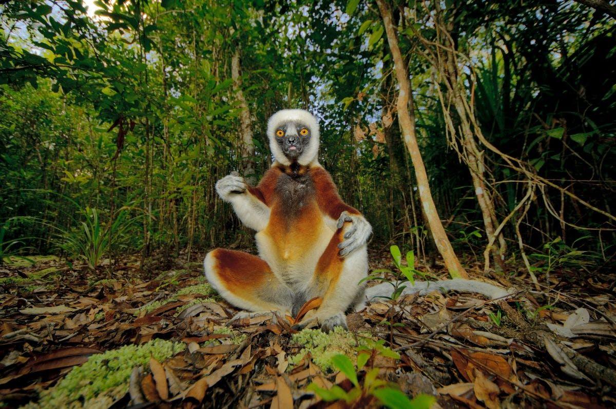 The various lives of lemurs
