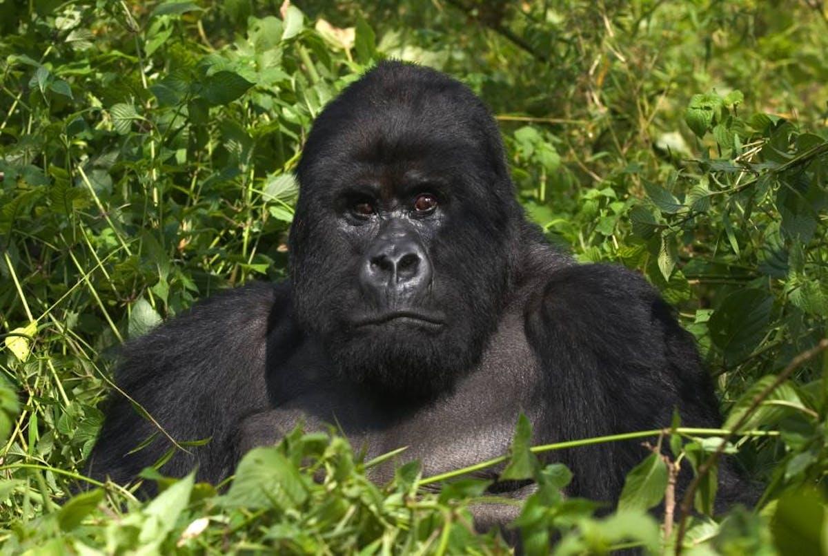 Species of the Week: mountain gorilla