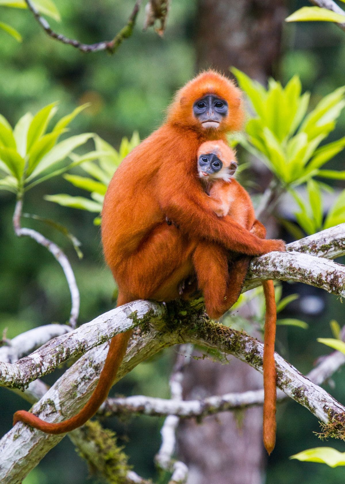 Red leaf monkeys in Borneo. Creative Commons, Paul Williams, 2012.