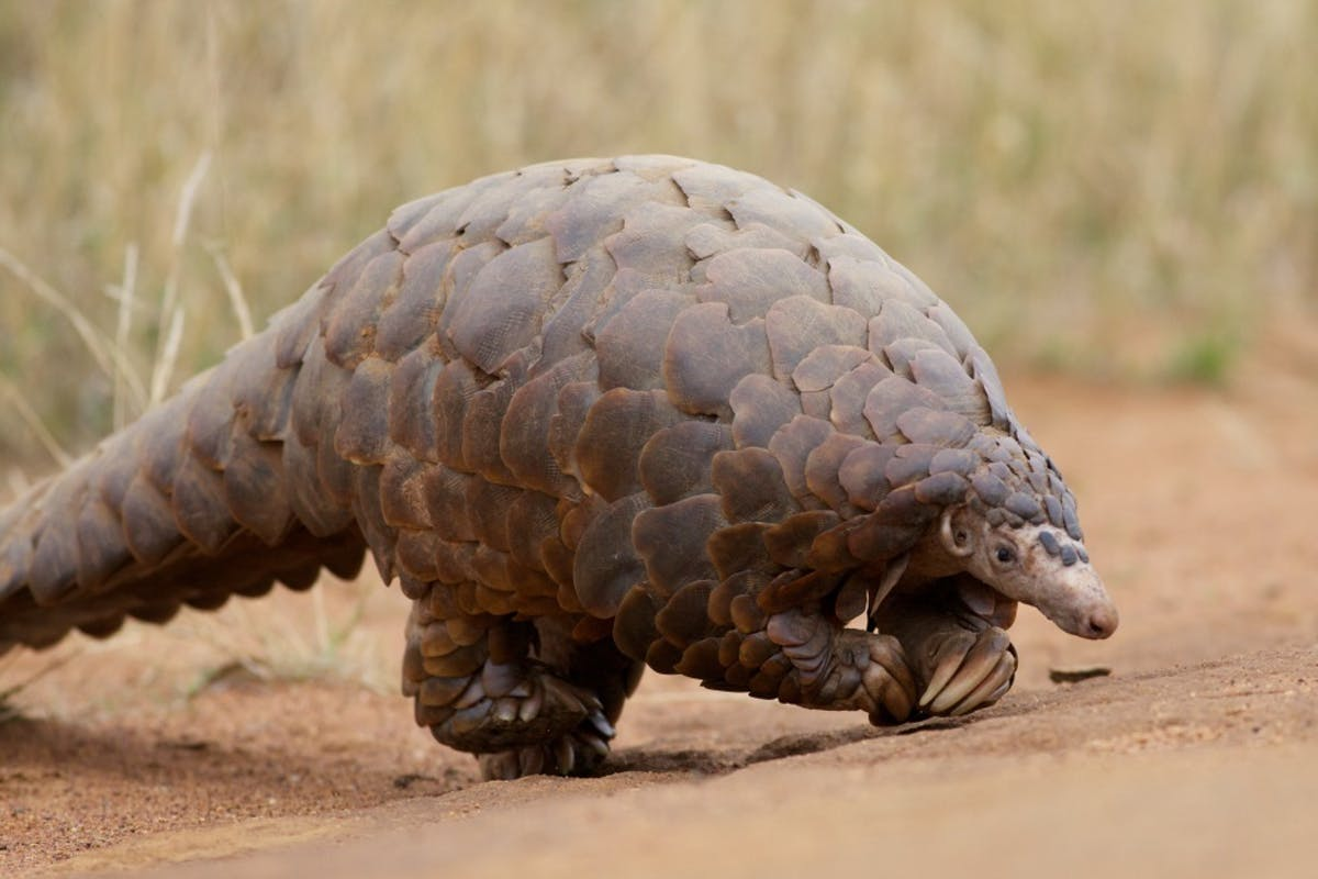 Protecting Habitat for Four Species of Endangered Pangolin in Uganda