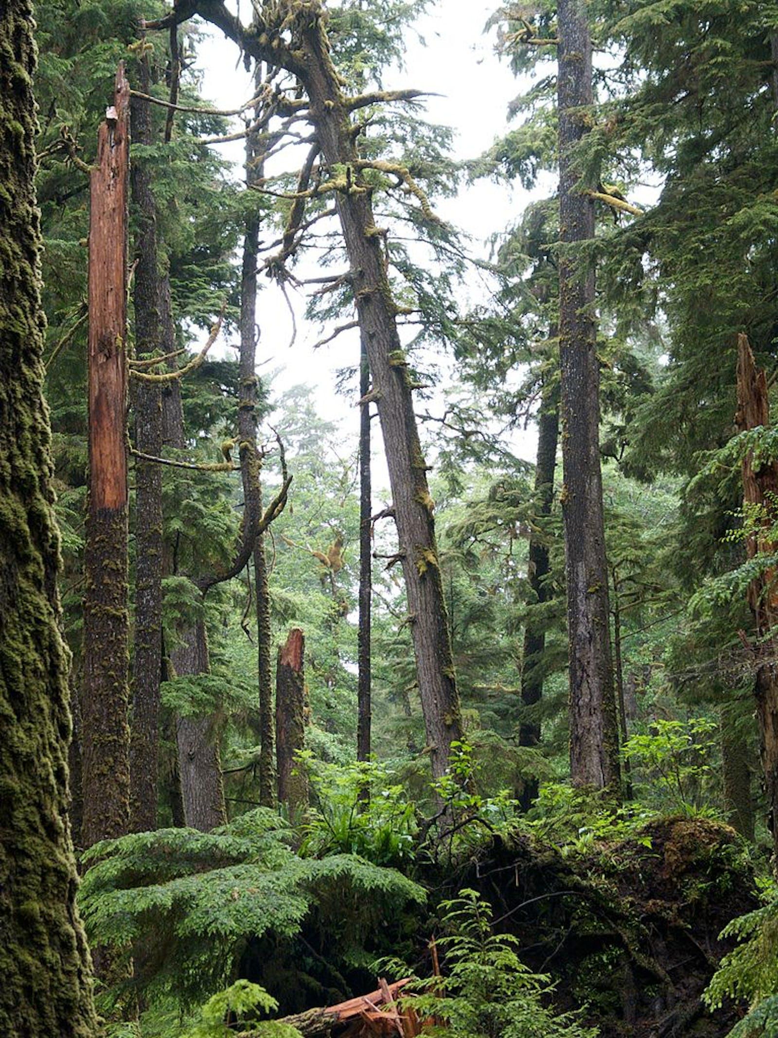 Haida Gwaii Conifer Forests