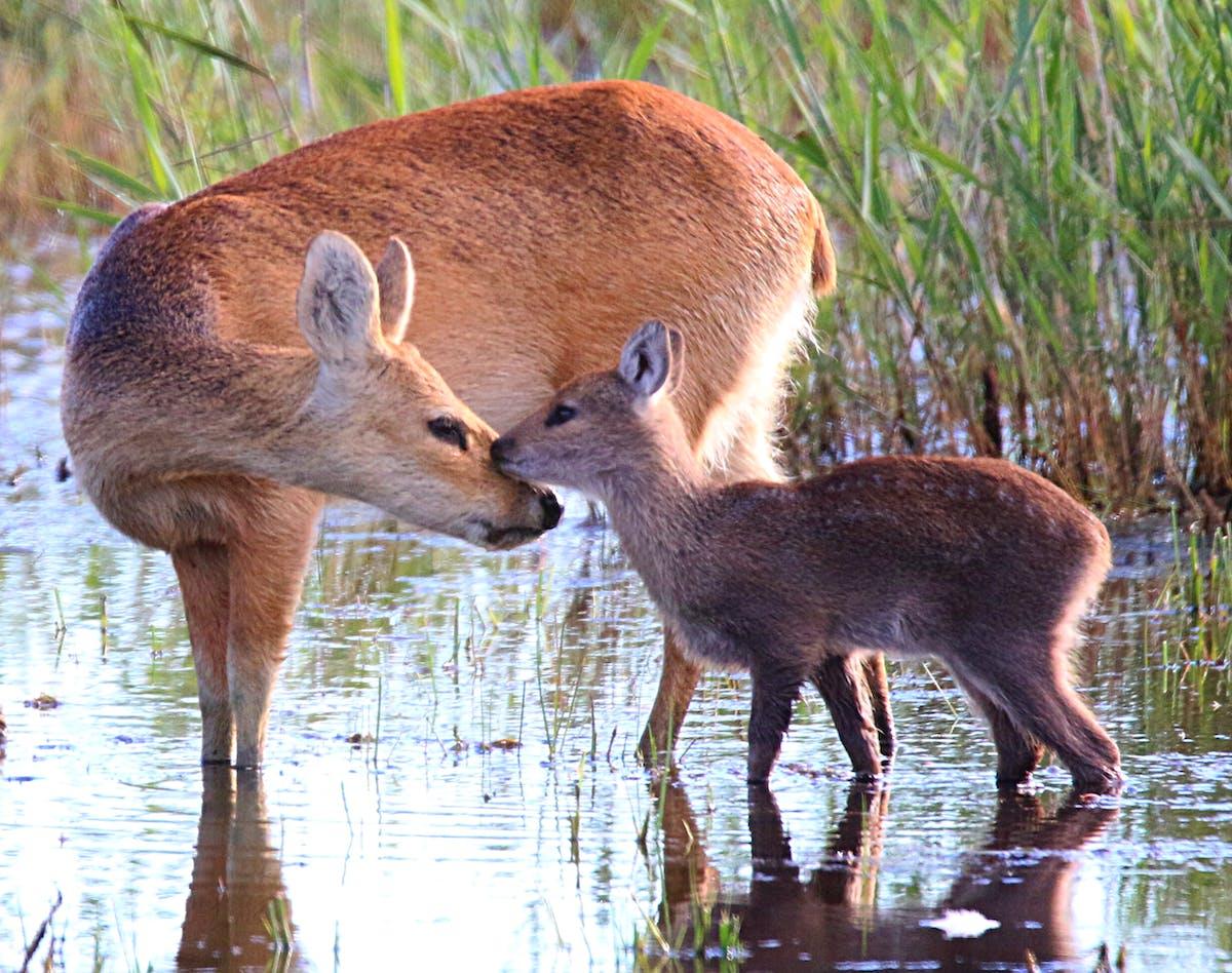 Species of the Week: Chinese water deer