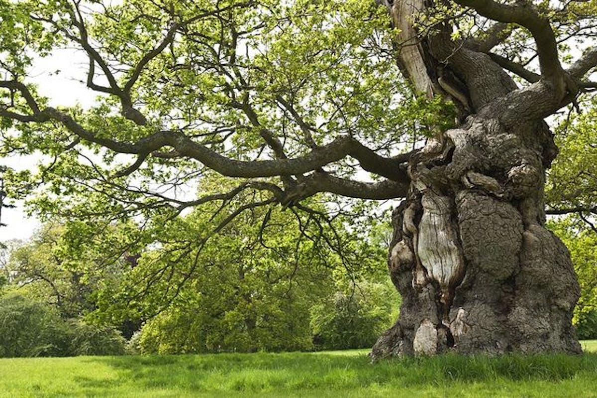 Oak trees: kings of biodiversity