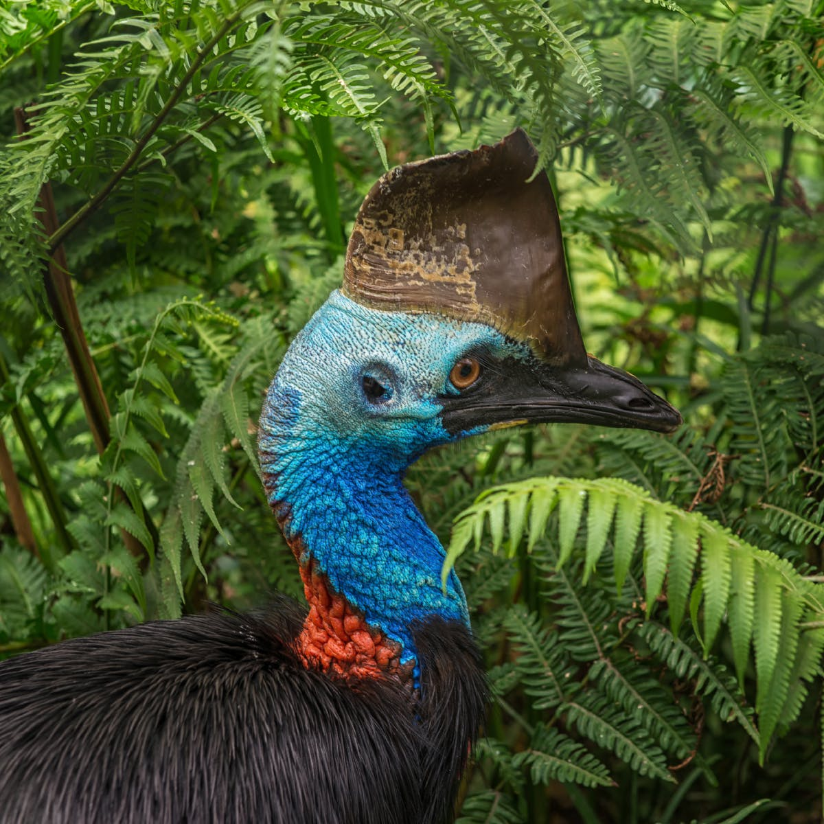 Species of the Week: southern cassowary