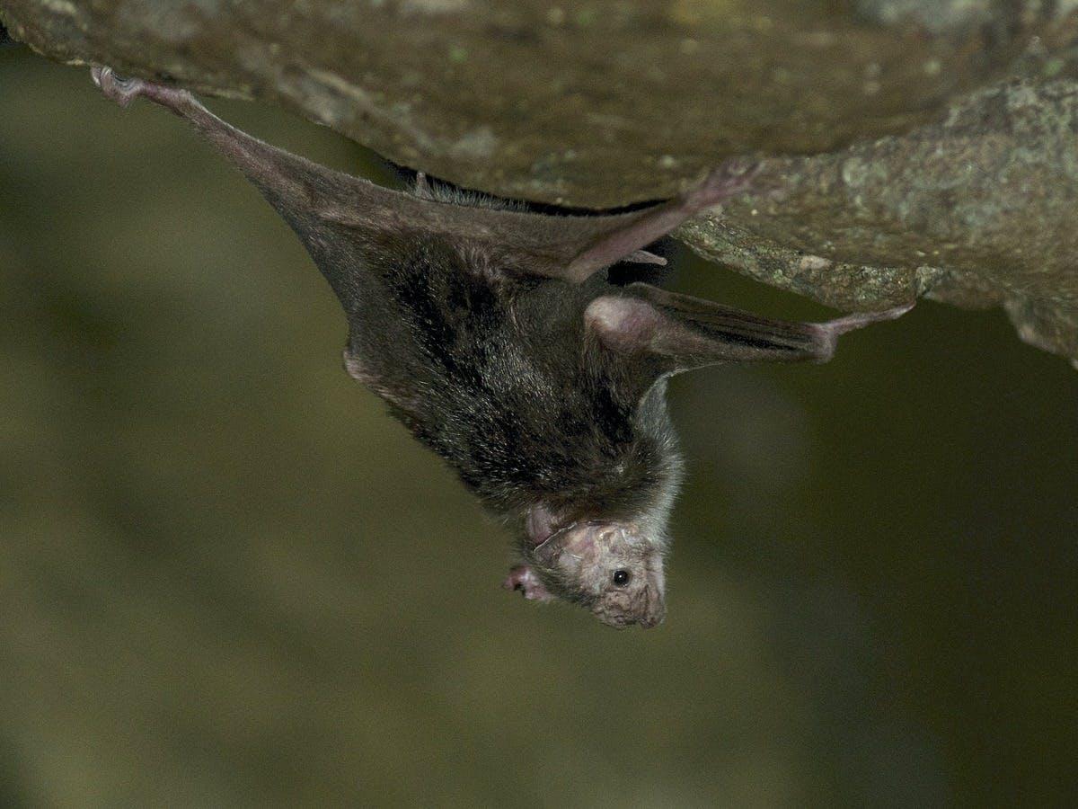 Vampire bats develop long-term friendships