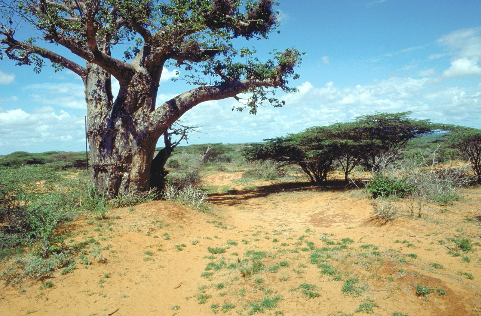 Somali Acacia-Commiphora Bushlands and Thickets