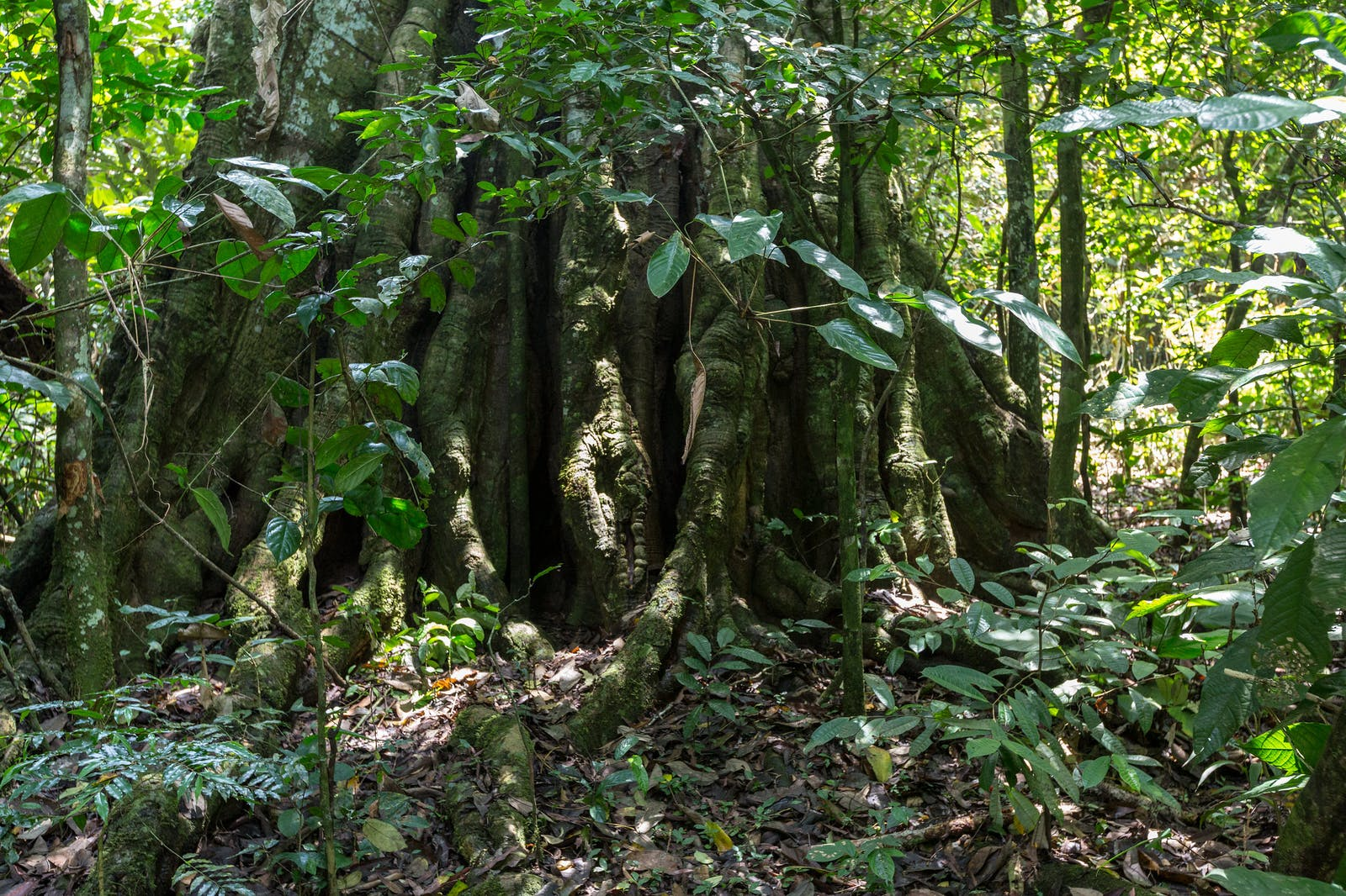 Northwest Congolian Lowland Forests
