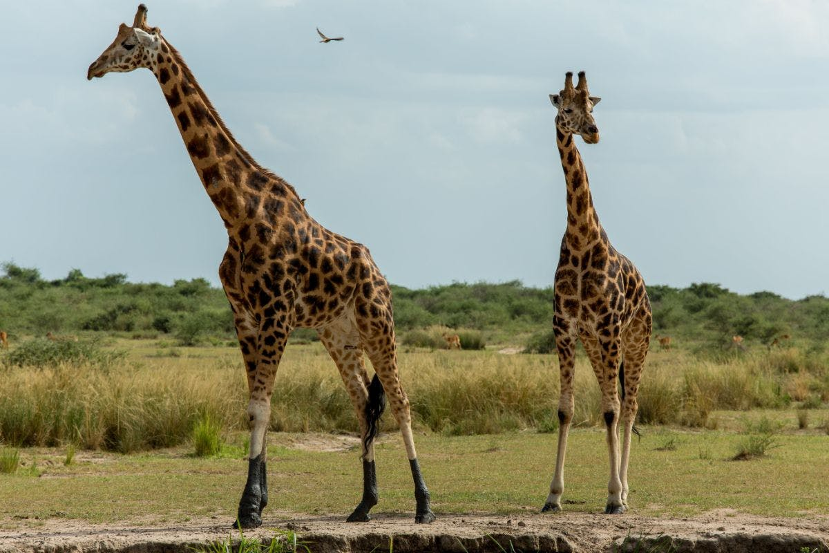 Two Giraffes in Murchison Falls NP, Uganda. Creative Commons, Justin Raycraft, 2015