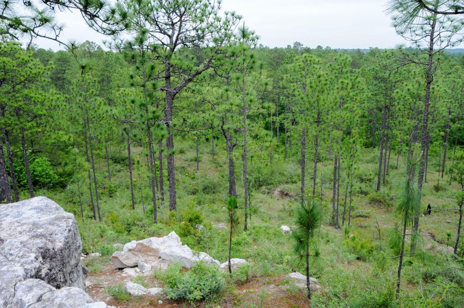 Piney Woods Forests