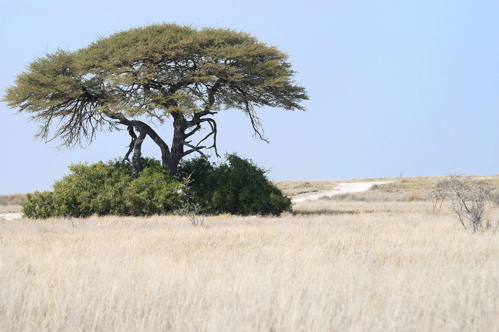 Angolan Mopane Woodlands