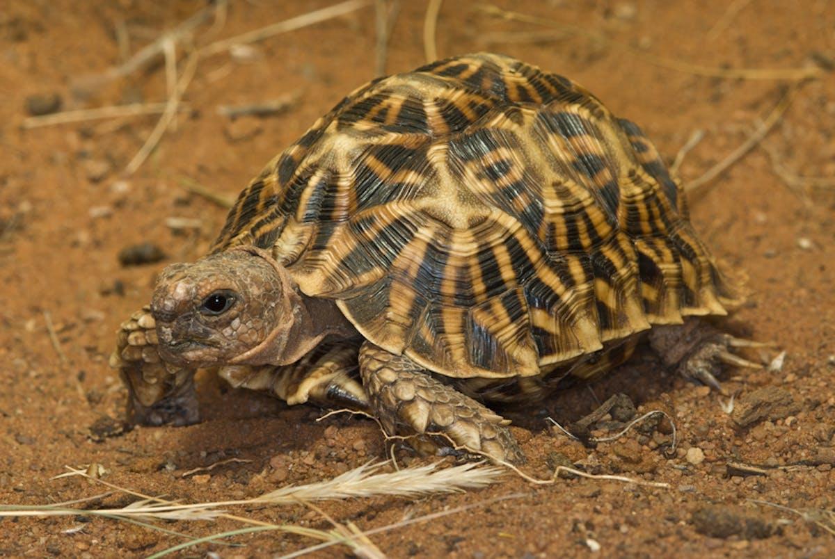 Species of the Week: geometric tortoise