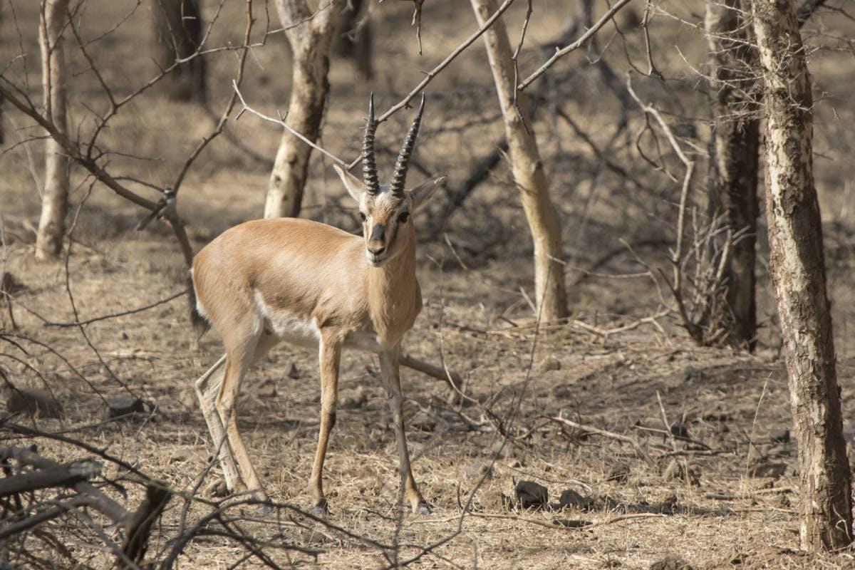 Species of the Week: Indian gazelle