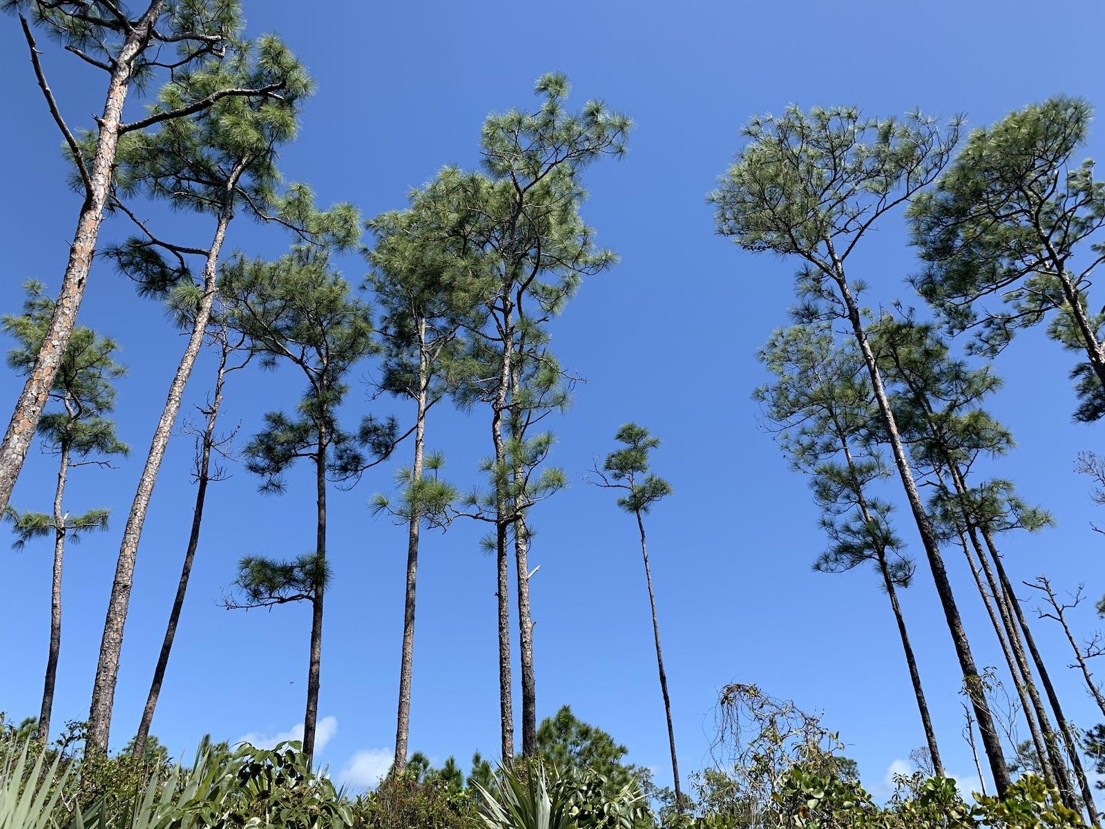 Bahamian Pineyards