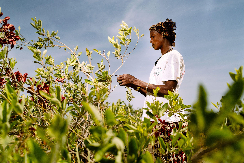 Collecting fruit. Boromo, Burkina Faso. Creative Commons, Oliver Girard, CIFOR, 2013.