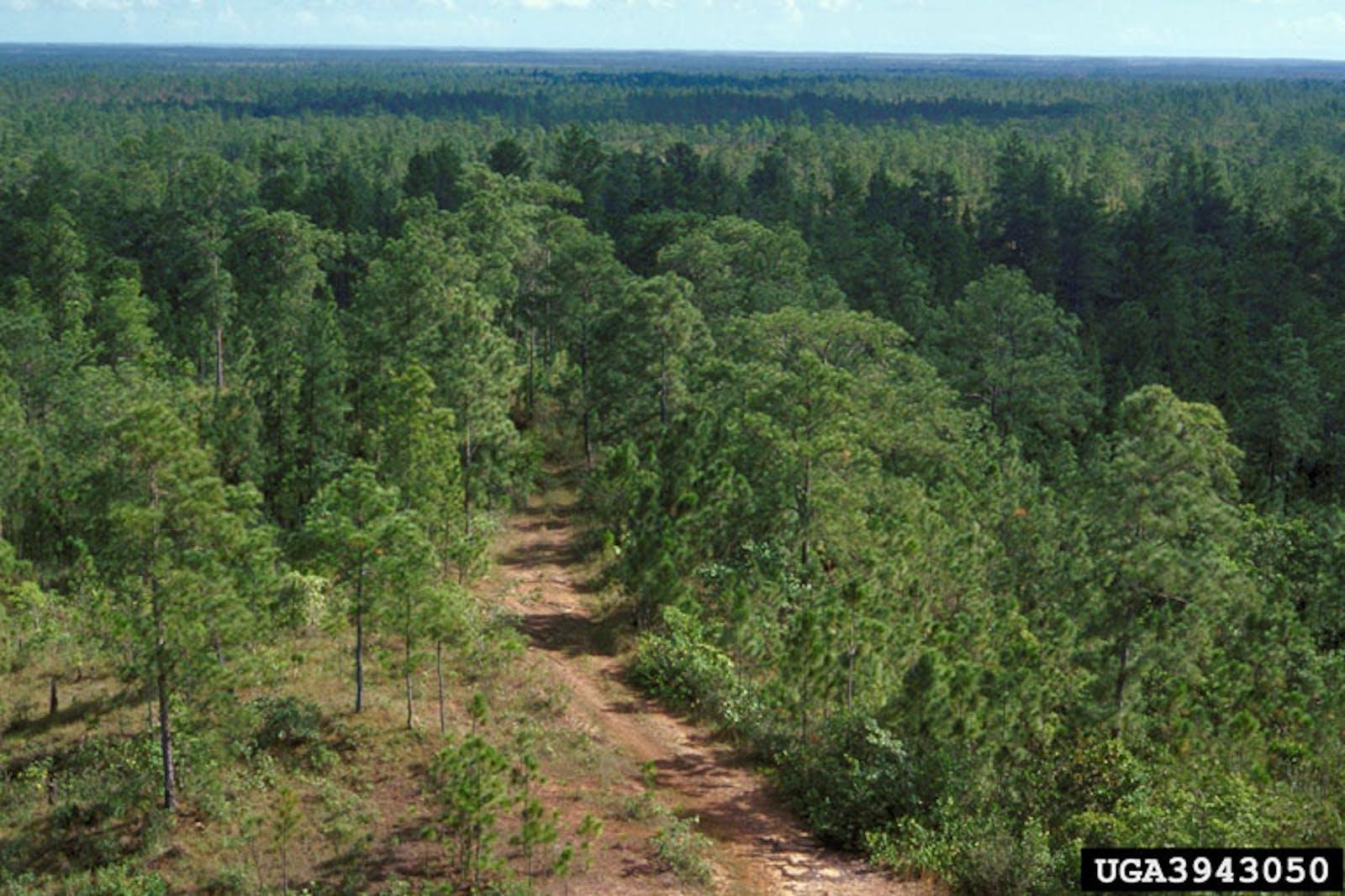 Miskito Pine Forests