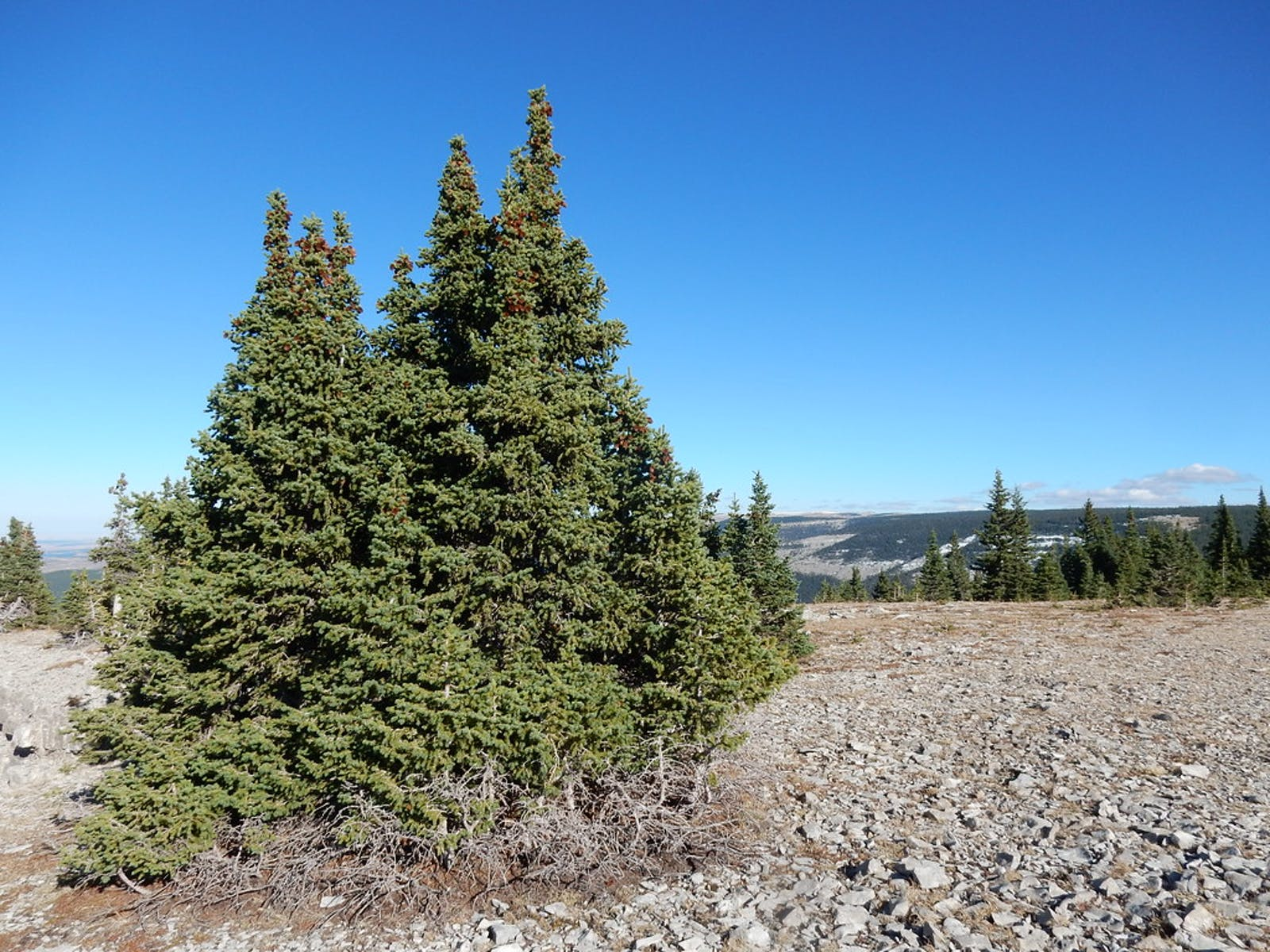 Northern Rockies Conifer Forests