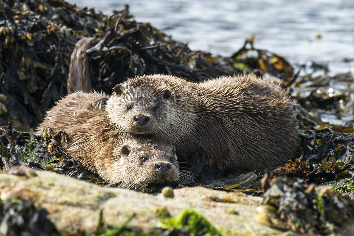 Sea otters fight climate change by guarding kelp forests