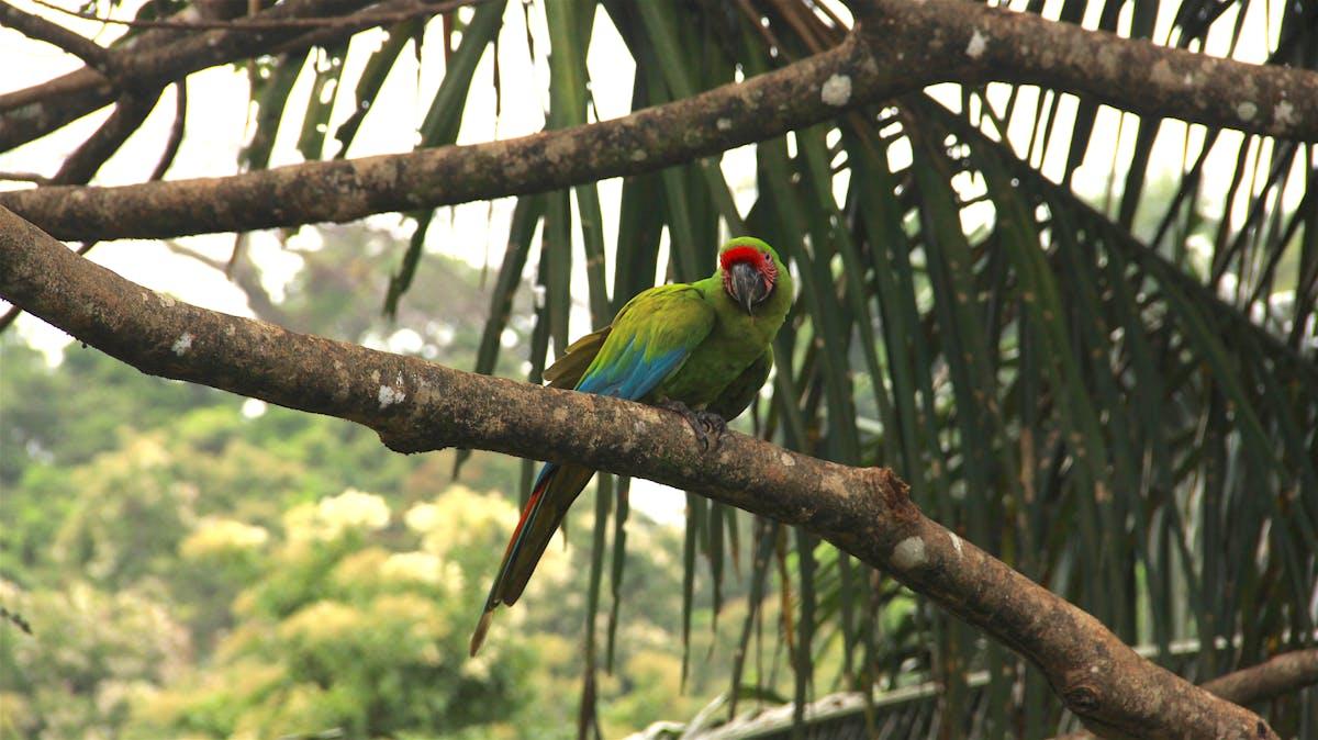 Species of the Week: Puerto Rican amazon