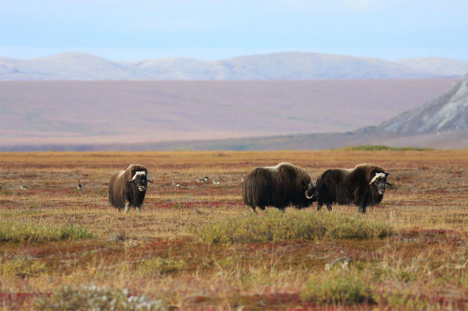 Arctic Foothills Tundra