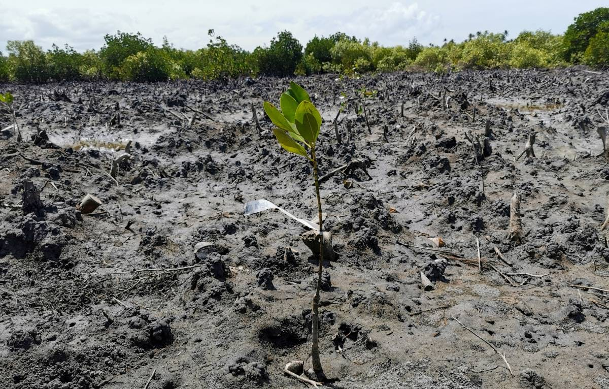 A mangrove planted by volunteers on World Environment Day. Image credit: Courtesy of Lilian Kenequa