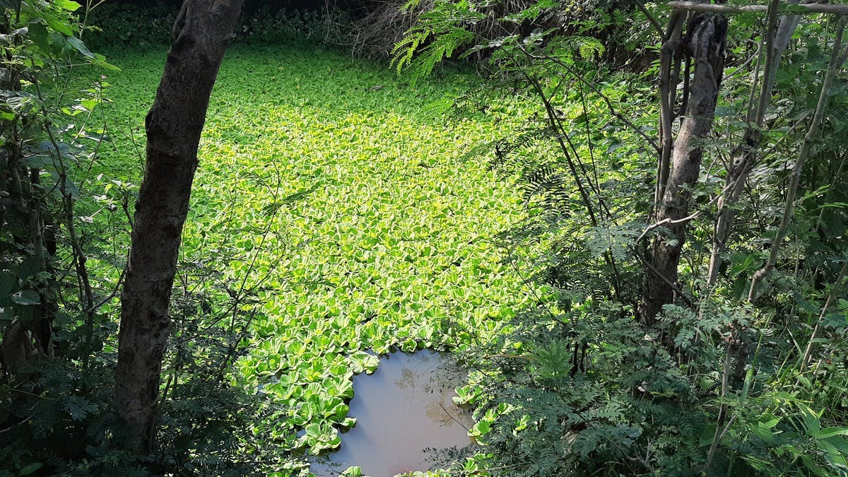 A pond of the harvested water covered in water lettuce that helps irrigate Eunice's farm during the dry season