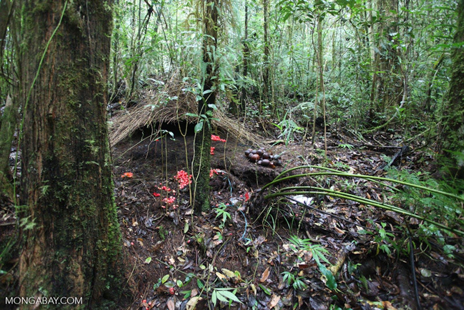 Vogelkop Montane Rainforests